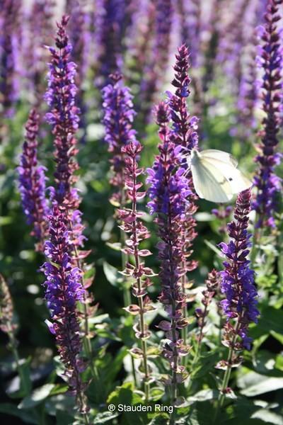 Gartensalbei – Salvia nemorosa ´Ostfriesland`
